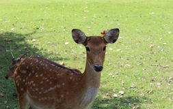 Sika deer. Royalty Free Stock Images