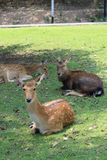Sika deer. Stock Images