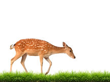 Sika deer with green grass isolated. On white background Stock Photography