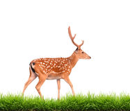 Sika deer with green grass isolated Stock Photos