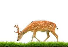 Sika deer with green grass isolated. On white background Stock Image