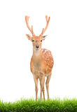 Sika deer with green grass isolated. On white background Royalty Free Stock Photos