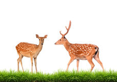 Sika deer with green grass isolated. On white background Stock Photos