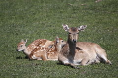 Sika deer with her juveniles. The Sika Deer, also known as the Spotted Deer or the Japanese Deer (Cervus nippon) is a species of deer that is native to much of Stock Photo
