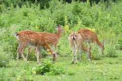 Sika deer herd Stock Images
