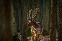 Sika Deer Stock Photography