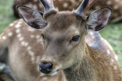 Sika Deer In Nara, Japan Royalty Free Stock Image
