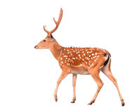 Sika deer isolated. On white background Royalty Free Stock Images