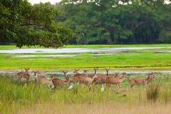 Sika deer in jungls Royalty Free Stock Photo