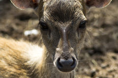 Sika Deer Kid Nose. Stock Image