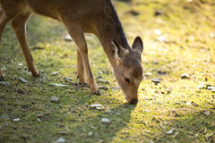 Sika deer. (lat. Cervus nippon Royalty Free Stock Photography