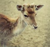 Sika deer (lat. Cervus nippon) doe Stock Photography