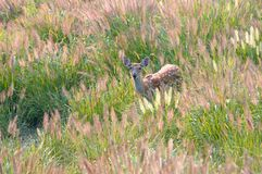 The Sika deer. This little Sika deer is hiding in thick grass,it is playing aroud the grass Stock Image