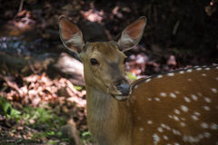 Sika deer looking ahead. Close up view of deer's face Royalty Free Stock Images