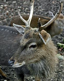 Sika deer 1. Sika deer male also known as the spotted deer or the Japanese deer. Latin name - Cervus nippon Royalty Free Stock Photo
