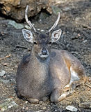 Sika deer 2. Sika deer male also known as the spotted deer or the Japanese deer. Latin name - Cervus nippon Stock Photo
