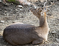Sika deer 3. Sika deer male also known as the spotted deer or the Japanese deer. Latin name - Cervus nippon Stock Image