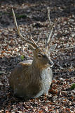 Sika deer. Male also known as the spotted deer or the Japanese deer. Latin name - Cervus nippon Royalty Free Stock Image