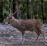 Sika deer male 1. Sika deer male also known as the spotted deer or the Japanese deer. Latin name - Cervus nippon Stock Photography