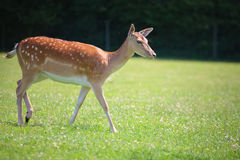 Sika deer on meadow Royalty Free Stock Photo