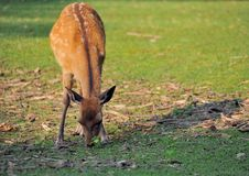 Sika deer Nara Royalty Free Stock Photography