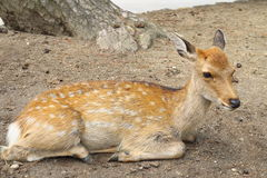 Sika Deer Royalty Free Stock Photo