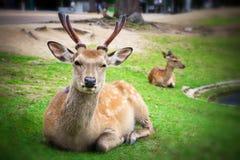 Sika deer in Nara Park, Japan Stock Photography