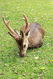 Sika deer in the nature Royalty Free Stock Photos