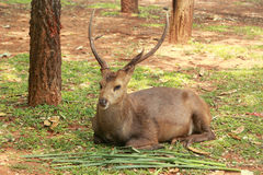 Sika deer in the nature Royalty Free Stock Photo