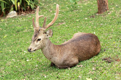 Sika deer in the nature Royalty Free Stock Photography