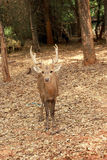 Sika deer in the nature Stock Photo