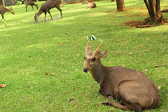 Sika deer in the nature Stock Image
