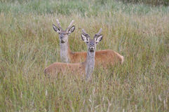 Sika deer in new forest Royalty Free Stock Images