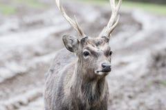 Sika deer Stock Photos