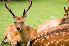 Winking deer Stock Image