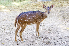 The Sika deer is one of the few deer species that does not lose its spots upon reaching maturity. Royalty Free Stock Images
