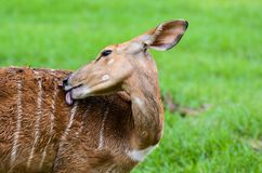 The Sika deer Stock Image