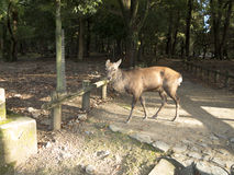 Sika deer in the parks of Nara. Spotted Sika deer in the parks of Nara, Japan Royalty Free Stock Image