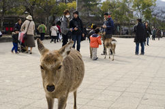 Sika deer among people Stock Image