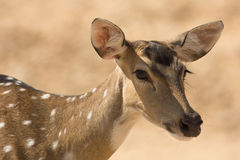 Sika Deer portrait royalty free stock photo