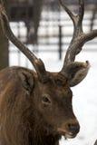 Sika deer portrait Royalty Free Stock Photo