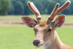 Sika deer portrait in nature. Cervus nippon deer in nature close up photo Stock Photos