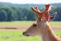 Sika deer portrait in nature. Cervus nippon deer in nature close up photo Stock Images