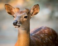 Sika Deer. 3/4 Portrait of Sika Deer in Sunset Light stock photos