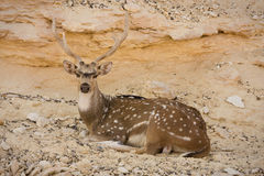Sika Deer resting Stock Photo