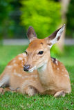 Sika Deer sit on green grass Royalty Free Stock Images