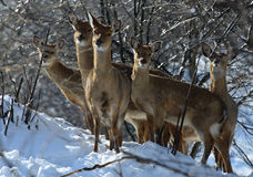 Sika deer in the snow. This group of sika deer in the snow look in one direction Royalty Free Stock Photography