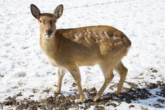 The Sika Deer or the Spotted Deer, or the Japanese Royalty Free Stock Image