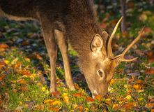 Sika Deer Stag - Cervus nippon. A wild Sika stag photographed on a green fall pasture Stock Image