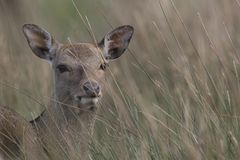 Sika deer, stag,hind, calf portrait while in long grass Stock Images